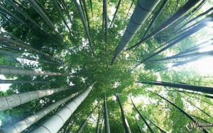 bamboo-wallpapers-plants-135466